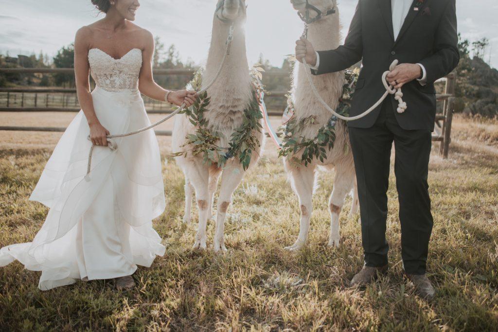bride and groom with alpaca at wedding in belleview fort collins colorado